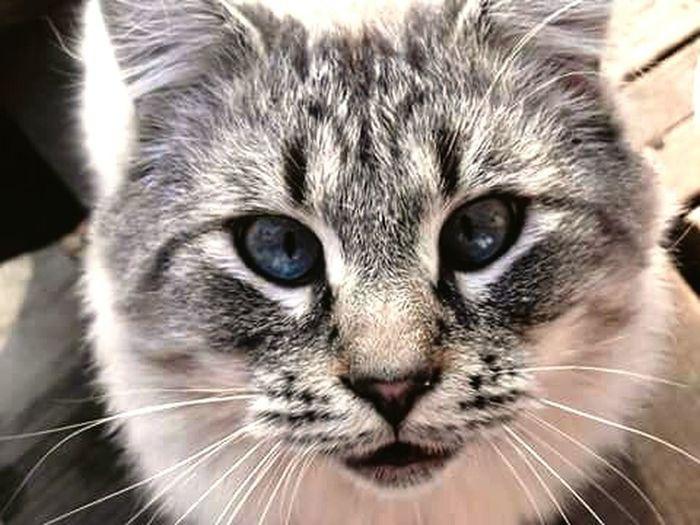 CatEye Blue Eyes EyeEm Animal Lover Lovemycat First Eyeem Photo Happiness Itssofluffyicoulddie Black&white First Eyeem Photo