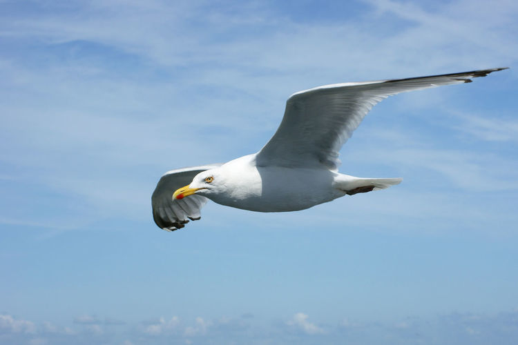Seagull in the