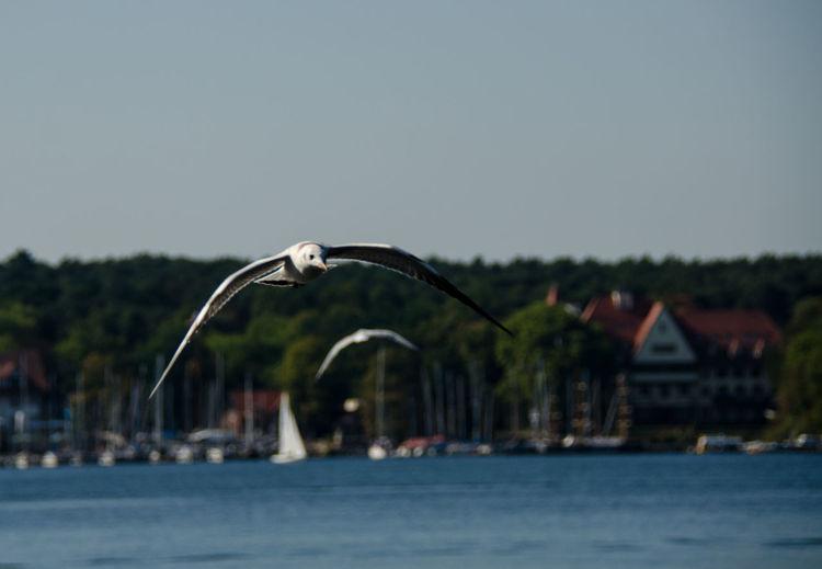Bird Clear Sky Flying Bird Focus On Foreground Im Flug Outdoors Sea Seagull See Seemöwe