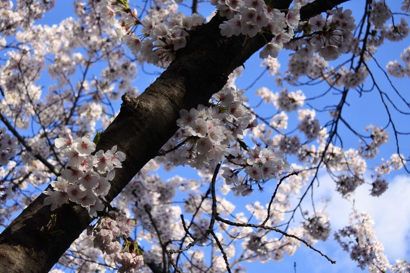 #cherryblossom Tree Low Angle View Plant Branch Flowering Plant Flower Fragility