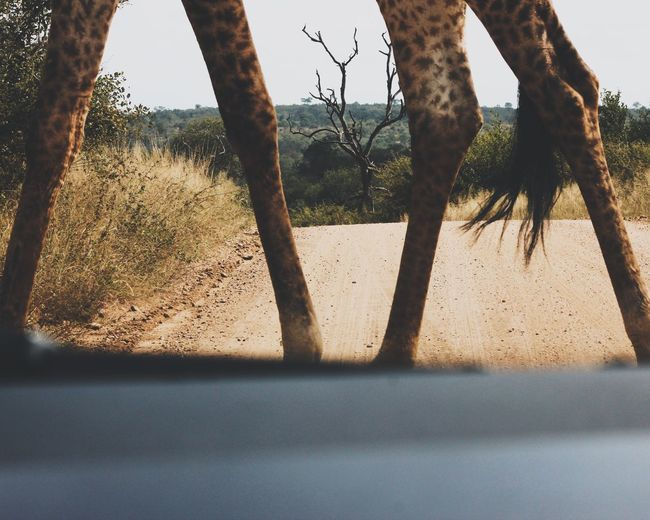 No People Nature Outdoors Sand Dune Giraffe Africa Car Landscape Beauty In Nature Bush Kruger Park South Africa Let's Go. Together. Lost In The Landscape