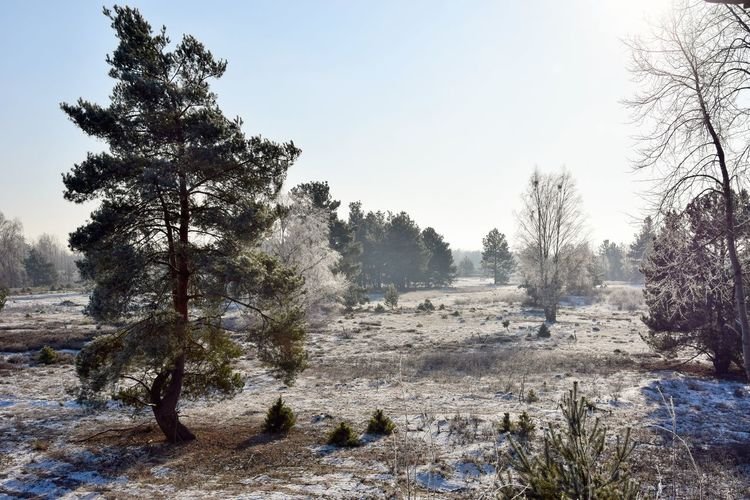 Tree Plant Sky Nature Winter Tranquility Cold Temperature Land Environment Tranquil Scene Scenics - Nature Landscape Snow Beauty In Nature Clear Sky No People Day Non-urban Scene Field Outdoors Heath Heathland  White Frost Hoar Frost Sunlight