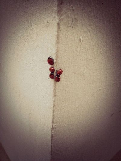 Wtf?! Ladybugs Invasion
