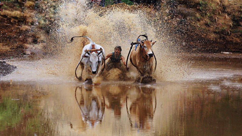 Bull race at Padang west sumatera indonesia Bull Pacu Jawi INDONESIA Canon6d Landscape_photography Bull Race People Action Bucket List Reflection Real People Human Interest RISK