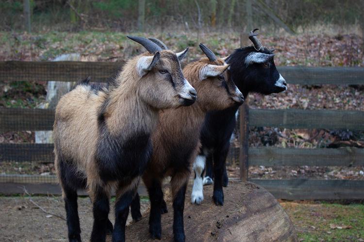 goats Animal Themes Group Of Animals Animal Mammal Domestic Animals Livestock Vertebrate Domestic No People Day Pets Animal Wildlife Standing Nature Land Boundary Barrier Outdoors Herbivorous Animal Head
