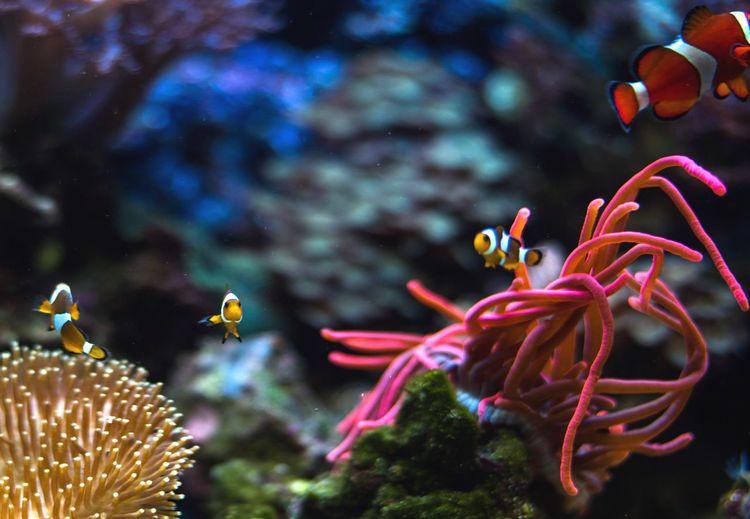 Finding Nemo Sea Life Underwater Fish Multi Colored Swimming Water Coral UnderSea Clown Fish Aquarium Sea Anemone Nemo Nemo Fish Nikonphotography Nikon Full Frame Fishtank