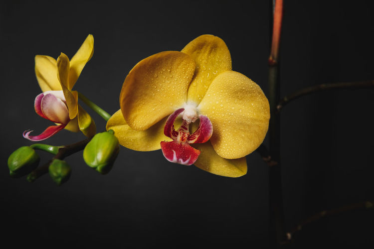 Close-up of yellow orchids against black background