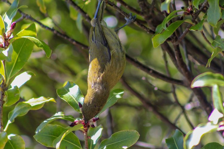 New Zealand bellbird at Lake Mistletoe in Southland, South Island, New Zealand New Zealand Nature South Island Landscape Scenics Outdoors Outside Southland Manapouri Travel Destinations Travel Traveling Tourism Sun Sunlight Fiordland Fiordland National Park National Park Lake Mistletoe Plant Tree Branch Bird Bellbird Green Color Animal Animal Themes Animals In The Wild Wildlife Eating Leaves Leaf One Animal Animal Wildlife Growth Plant Part Vertebrate No People Day Focus On Foreground Close-up Reptile