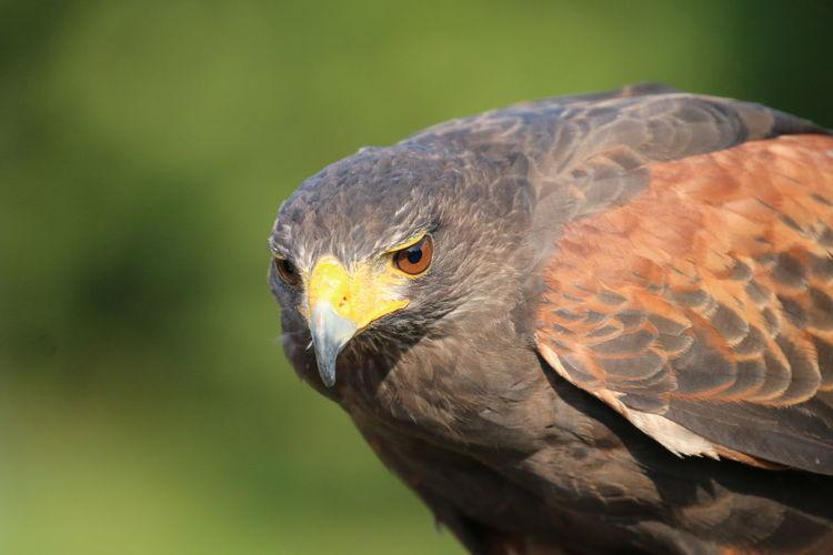 Close-up of a falcon