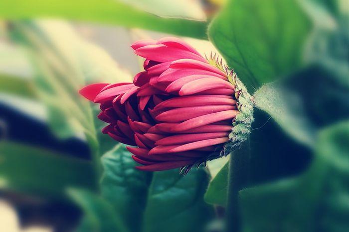 Gerbera blossom Flowerpower🌸 Athome