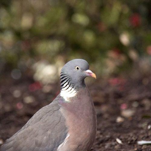 Happy Pigeon