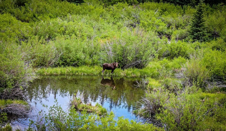 Weston Pass Colorado Bullmoose Moose Wildlife Photography Naturelovers Nature Photography