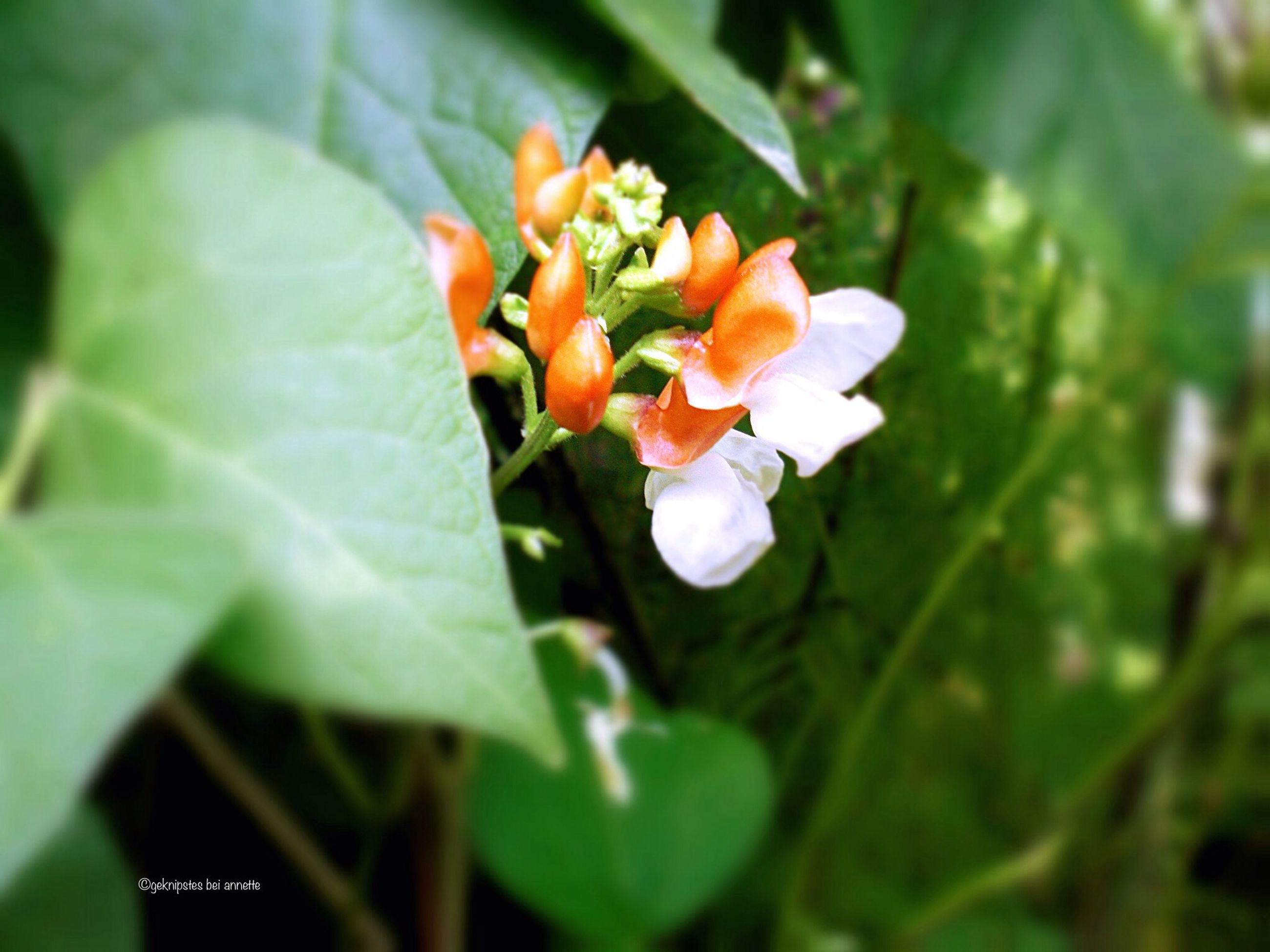 flower, freshness, growth, fragility, petal, leaf, beauty in nature, plant, flower head, close-up, nature, blooming, focus on foreground, green color, bud, stem, in bloom, selective focus, outdoors, blossom