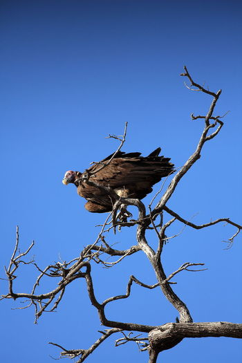 Etosha NP, Namibia Bare Tree Beauty In Nature Bird In Wild Branch Clear Sky Dead Plant Dried Plant High Section Predator Tranquility Vulture Vulture Perched Vultures Are Cool Vultures In A Tree Vultures Observing Wildlife