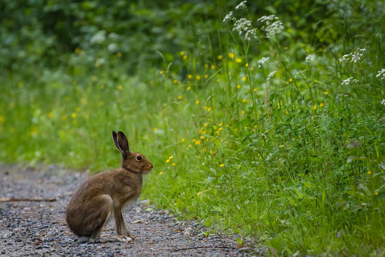Hare sitting by plants growing on road