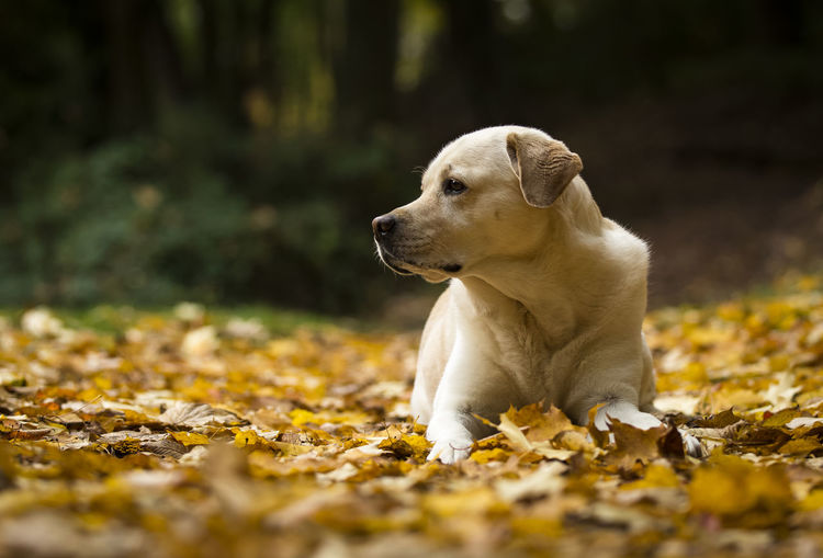 Irmi im Blätterwald Animal Autumn Autumn Colors Autumn Leaves Cute Dog Dogs Forest Labrador Labrador Retriever Laying Down Leaves Looking To The Other Side Nature Nature Photography Nature_collection One Animal Outdoors Portrait Profile Yellow