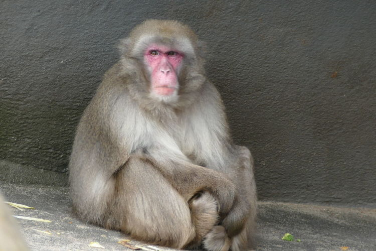 All by myself... All By Myself Ape Day At The Zoo Lonely Zoo Close-up Japanese Macaque Makake Mammal Monkey No People One Animal Sadness Sitting Zoo Animals  EyeEmNewHere