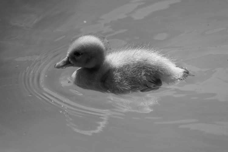 High Angle View Of Duckling In Water