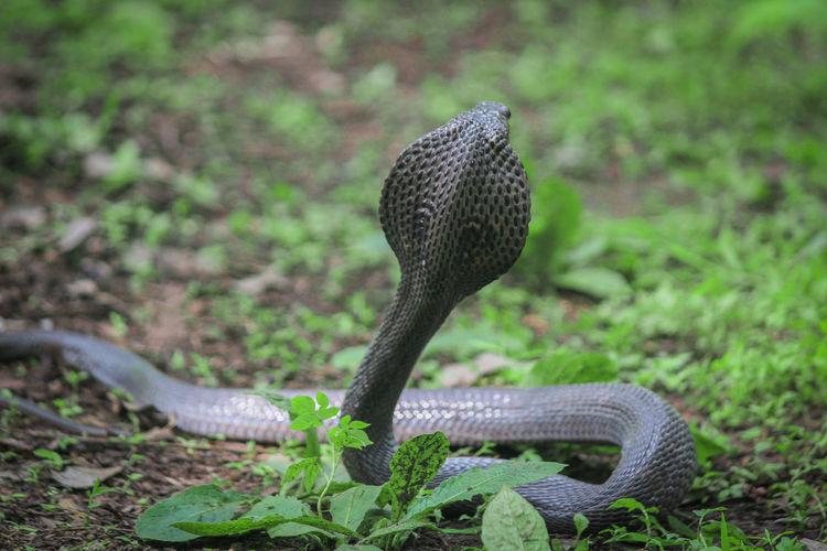 Close-up of cobra on field