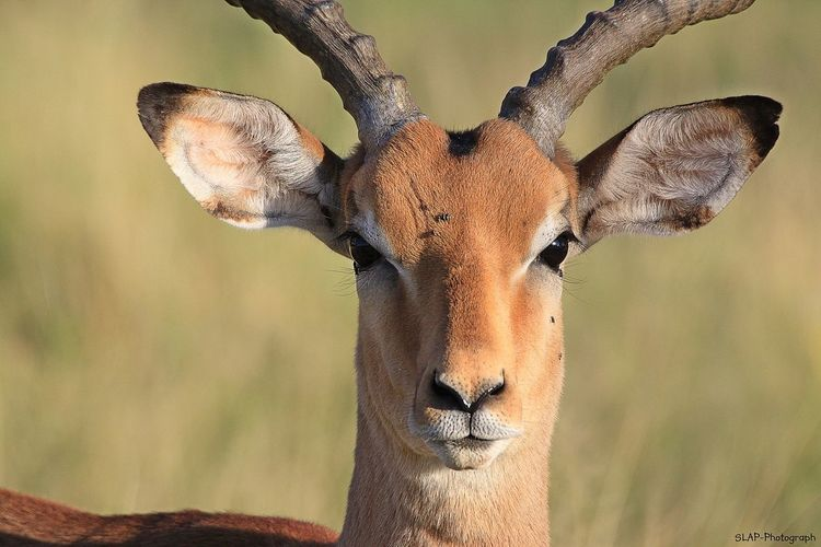 Close-up portrait of impala on sunny day