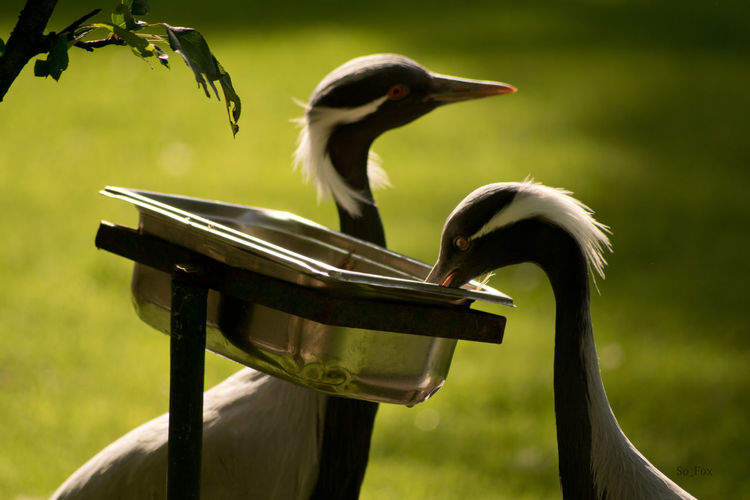 Demoiselle cranes by container on field