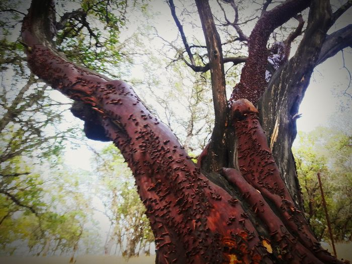 Tree Trunk Tree Low Angle View Branch Bark Growth Sky Nature Tall Outdoors Day Tranquility Tall - High Scenics Large Tranquil Scene Beauty In Nature WoodLand No People