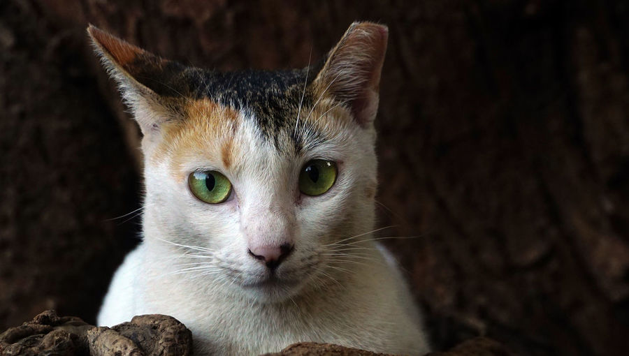 Green Eyes Cat Eye Of Cat Head-shot Of Cat Headshot Animal Head  Focus On Foreground Whisker No People Close-up Vertebrate Domestic Animals Pets Domestic Feline Domestic Cat Animal Themes Animal One Animal Cat Mammal One Ear Catted Cat