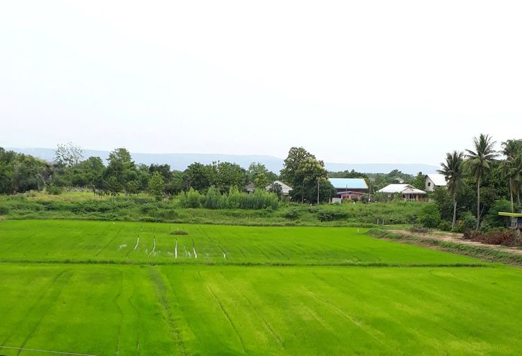 Green rice fields in the countryside Tree Rural Scene Sky Grass Parallel Railroad Tie Plough Lush - Description Field Bale  Rice Paddy Oilseed Rape Farm Cultivated Land Countryside Terraced Field Rice - Cereal Plant Agricultural Field Growing Farmland Lush Foliage