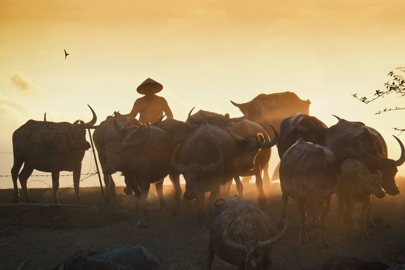 Man with buffaloes on field against sky during sunset