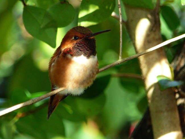 Animals In The Wild Avian Beak Beauty In Nature Bird Close-up Focus On Foreground Perching Rufus Hummingbird