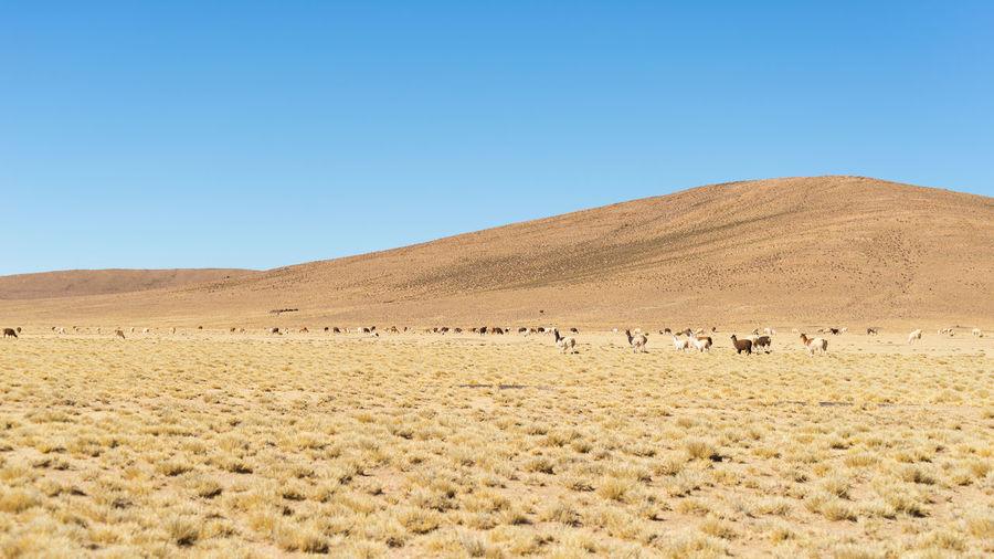 Llamas at desert against clear sky