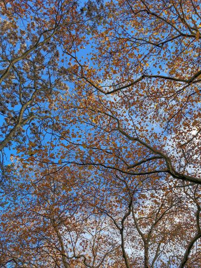 Stanley Park Branches And Sky Fall Colours Fall Leaves Trees Full Frame Backgrounds Pattern Day Abstract Low Angle View No People Nature Sky Beauty In Nature