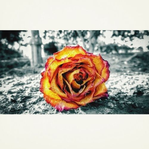 What Does Peace Look Like To You? Rose♥ Beautyofnature Freshair