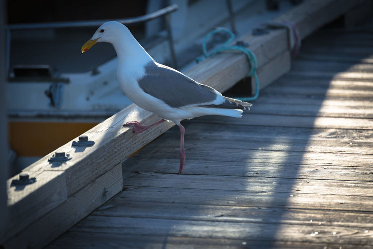 Seagull on the dock Animal Animal Themes Animal Wildlife Animals In The Wild Bird Day Mouth Open Nature No People One Animal Outdoors Perching Railing Seagull Selective Focus Shadow Side View Sunlight Vertebrate White Color Wood - Material