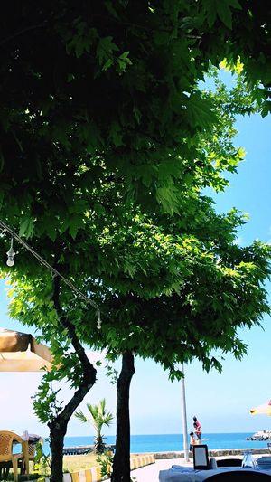 Ara Tree Plant