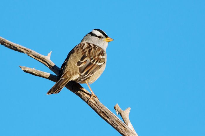 White-crowned sparrow White-crowned Sparrow Sparrow Bird Blue Animal Wildlife Animals In The Wild One Animal Animal Perching Animal Themes Sky Clear Sky Outdoors Nature