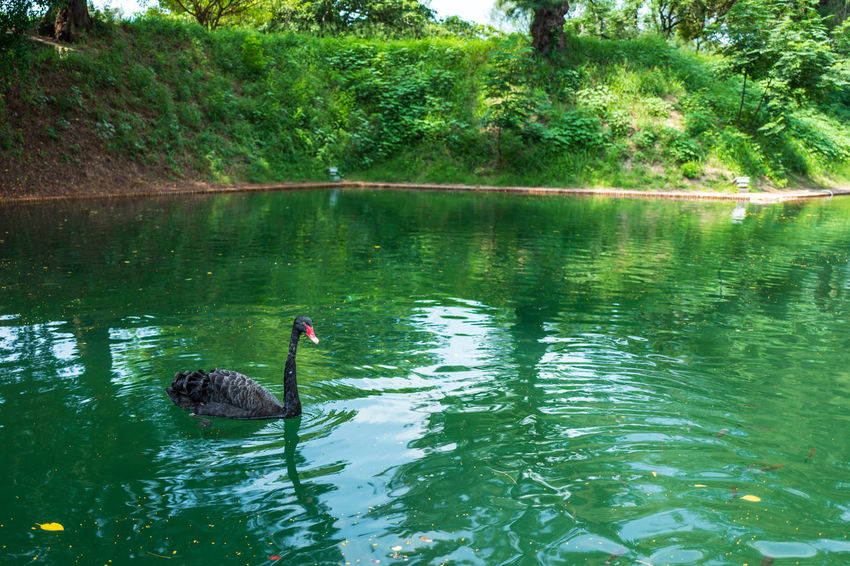 Tainan, Taiwan Animal Animal Themes Animal Wildlife Animals In The Wild Beauty In Nature Bird Black Swan Day Floating On Water Lake Nature No People Plant Reflection Swan Swimming Tree Vertebrate Water Waterfront
