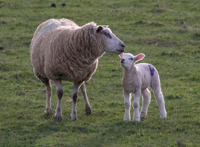 Group Of Animals Mammal Livestock Animal Animal Themes Grass Sheep Domestic Animals Field Land Domestic Pets Plant Vertebrate Lamb Standing Nature Young Animal Two Animals Togetherness No People Animal Family Outdoors Herbivorous