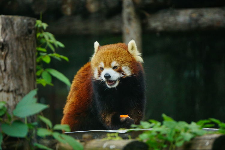 Red panda eating a carrot