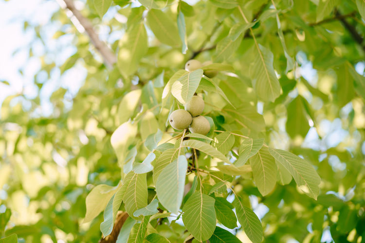 Low angle view of fruits on tree