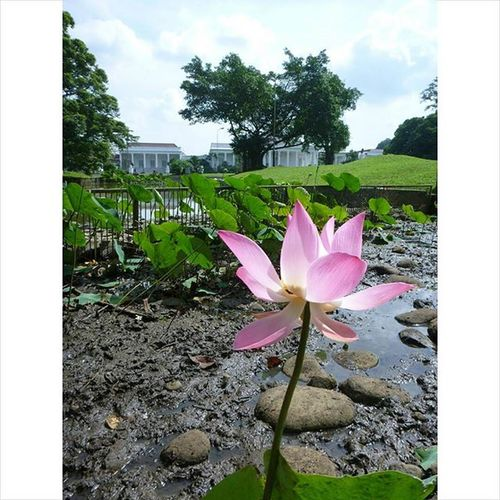 Bunga yang kekeringan Nofilter Noedit Asuszenfone Zenfone Kebunrayabogor Explorebogor Nature MyAdventure Mytrip Flower ALaM INDONESIA Photography Kofipon
