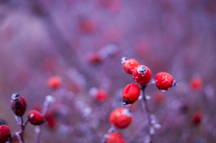 Rosehip Rosehip Flower Red Beauty In Nature Outdoors No People Berry Fruit Fruit Nature EyeEm Best Shots Beautiful ♥ Photography Eye4photography  Bokeh Photography Beautiful Nature Frost Winter Minus Temperatures Natural World Frozen Bokeh