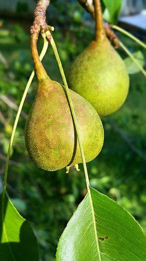 pears Pear