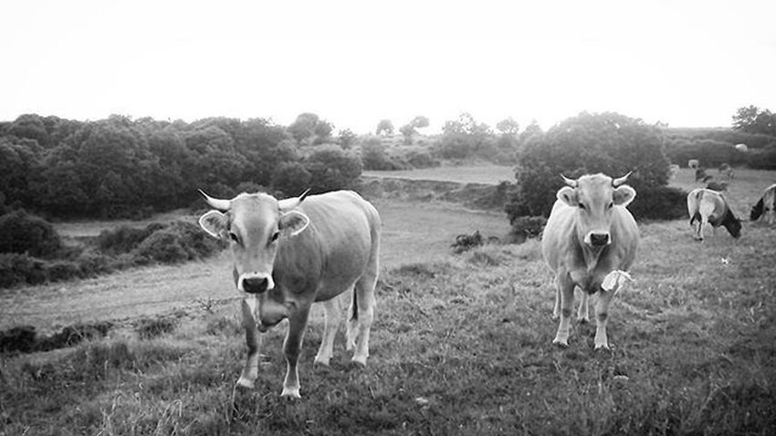 Cows Catalunya Naturephotography Animal Blackandwhitephotography