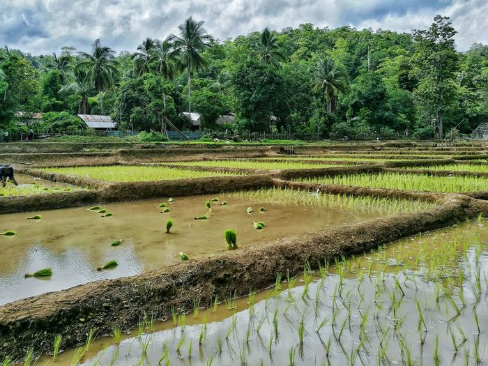 Rice Paddy Ricefield Sprouts Young Plant Mudding Farm Life