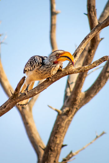 Low angle view of hornbill bird perching on branch against sky