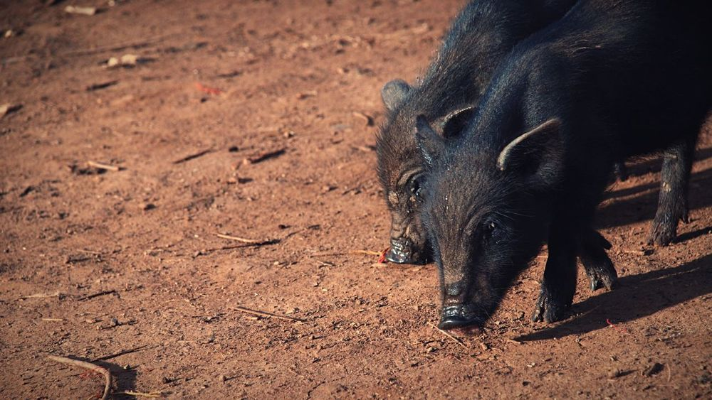 Boars Black Pigs Wildlife Little Boars Hungry Pork The Following