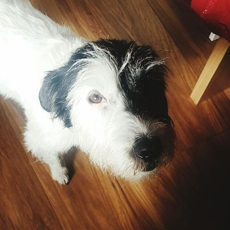 Hardwood Floor Dog Pets Indoors  Domestic Animals High Angle View Mammal Scruffy Scruffy Dog Black And White Dog Terrier