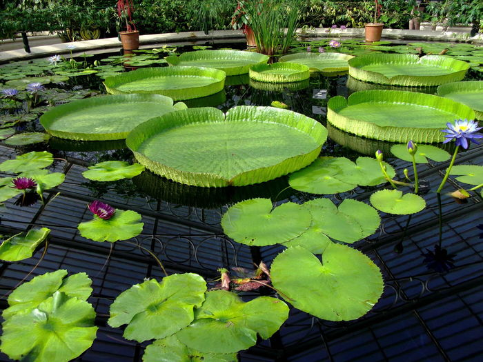 Kew Gardens Lilypads Green