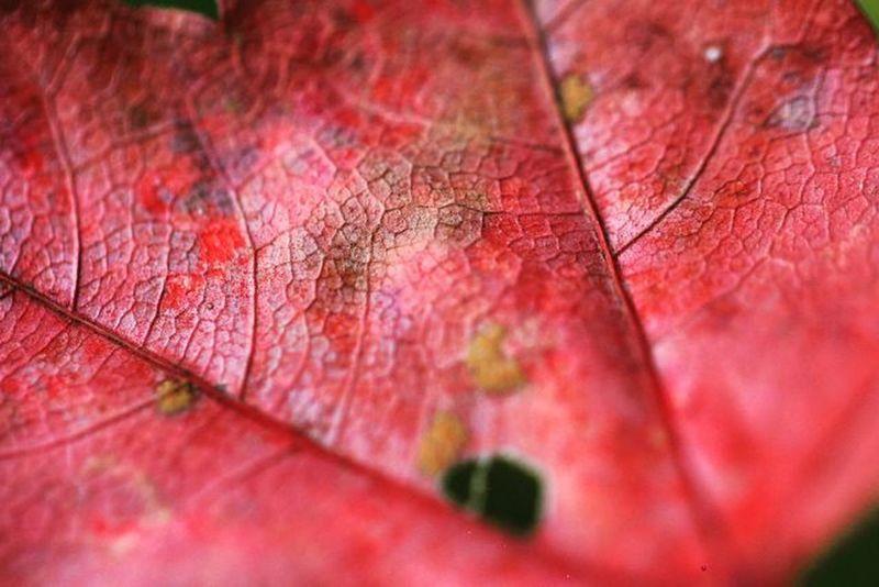 追🍁 追楓 落葉 楓葉 楓紅 脈 變態 帶著鏡頭趴趴照 隨拍 追風 變色 葉子 變色 深秋